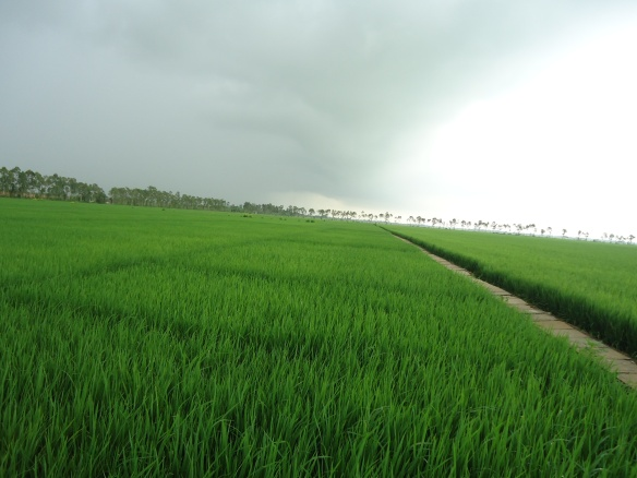 GreenSuperRiceinVietnam
