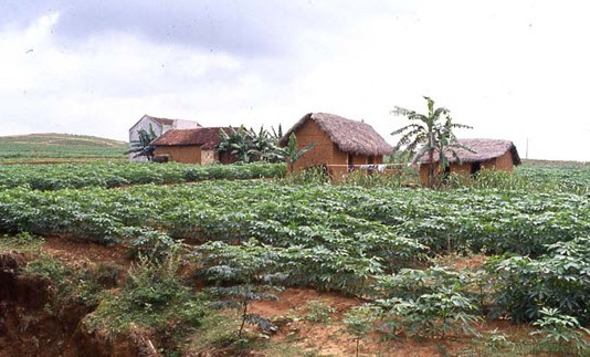 Cassava and Vietnam Now and Then 82