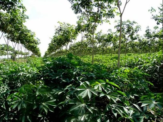 Cassava and Vietnam Now and Then 93
